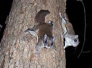 Northern Flying Squirrel - 300 x 225