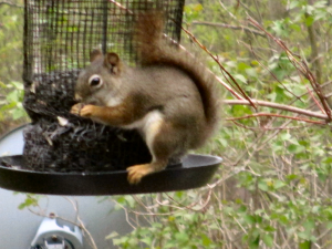 Red Squirrel - 2 - 300 x 225