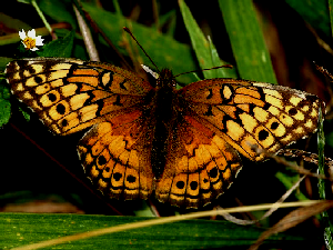 Variegated Fritillary Butterfly - 300 x 225